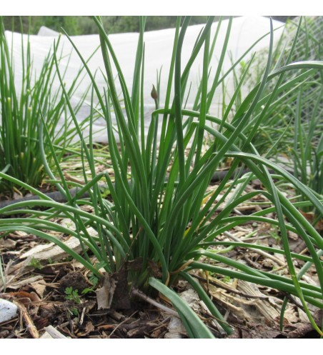 Multiplying Spring Onions