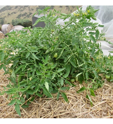 Bush tomato seeds