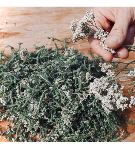 Yarrow dried flowers and leaves