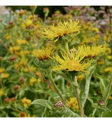 Elecampane seedlings