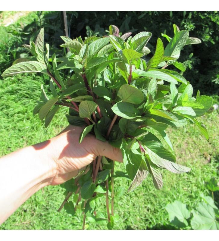 Peppermint seedlings